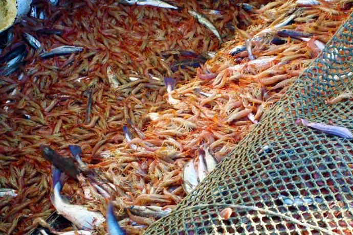 Revista Puerto - Langostino by catch de merluza